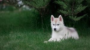 Baby Animal Dog Husky Pet Puppy 3840x2160 Wallpaper