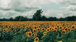 Field Nature Summer Sunflower Yellow Flower 4272x2848 wallpaper