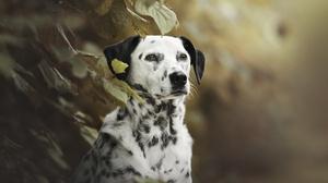Dalmatian Dog Pet 2047x1356 Wallpaper