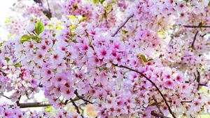 Blossom Cherry Blossom Flower Nature Pink Flower 1920x1200 Wallpaper