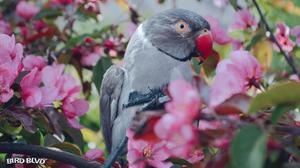 Bird Blossom Parakeet Parrot Psittacula Krameri Ringneck Rose Ringed Parakeet Spring 1920x1080 Wallpaper