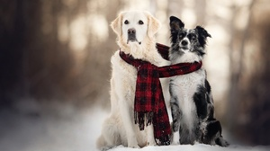 Depth Of Field Dog Golden Retriever Pet Scarf Snow Winter 2048x1365 Wallpaper