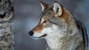 Wolf 3840x2160 Wallpaper