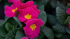 Earth Primrose 1920x1279 Wallpaper
