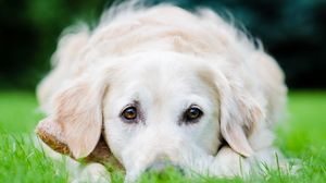 Golden Retriever Dog Stare Grass 2560x1600 Wallpaper