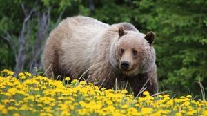 Bear Dandelion Flower Grizzly Wildlife Predator Animal 2047x1433 Wallpaper