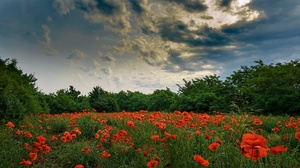 Cloud Flower Meadow Nature Poppy Red Flower Sky Summer 2560x1440 Wallpaper