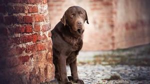 Dog Labrador Retriever Pet 2048x1366 Wallpaper