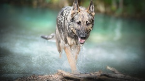 Depth Of Field Dog German Shepherd Pet 2560x1617 Wallpaper
