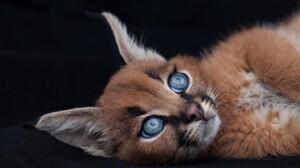 Baby Animal Blue Eyes Caracal Cub 3000x2000 Wallpaper