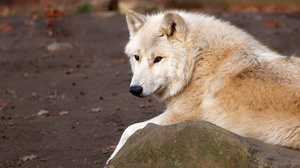 Wildlife Wolf Predator Animal 2880x1802 Wallpaper