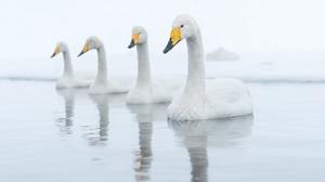 Bird Reflection Swan Tundra Swan Wildlife 2048x1284 Wallpaper