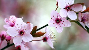 Nature Spring Flower Pink Flower Macro 1920x1080 Wallpaper