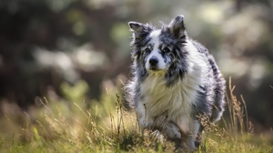 Border Collie Dog Pet 2000x1300 Wallpaper