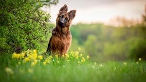 Depth Of Field Dog German Shepherd Pet 2048x1200 Wallpaper