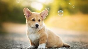 Baby Animal Bubble Corgi Depth Of Field Dog Puppy 2048x1316 Wallpaper