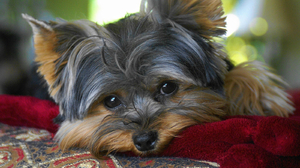 Animal Cute Dog Face Yorkshire Terrier 1600x1200 Wallpaper