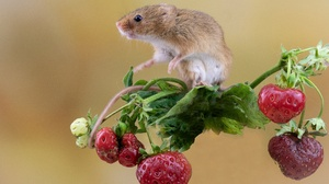 Berry Strawberry Rodent Harvest Mouse 2219x1479 Wallpaper