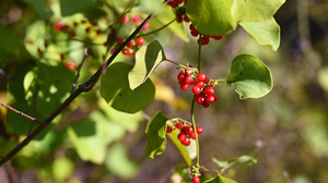 Nature Red Berries Plants Outdoors Fall Photography Harvest 5397x3036 Wallpaper