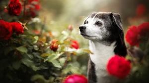 Dog Pet Red Flower Rose 2048x1365 Wallpaper