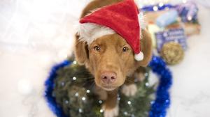 Baby Animal Dog Labrador Retriever Pet Puppy Santa Hat 2000x1333 Wallpaper