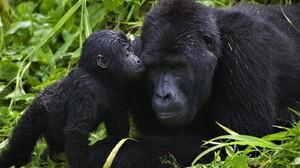 Animal Ape Baby Animal Cute Gorilla Love 1600x1200 Wallpaper