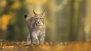 Big Cat Depth Of Field Lynx Wildlife Predator Animal 2000x1333 Wallpaper