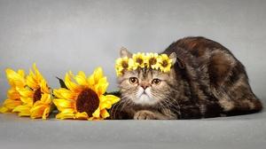 Cat Pet Sunflower 1920x1269 Wallpaper