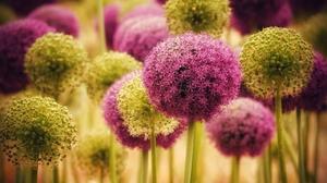 Allium Flower 2560x1440 Wallpaper