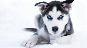 Baby Animal Dog Husky Pet Puppy 2167x1326 Wallpaper