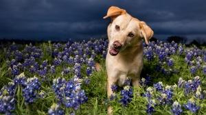 Blue Flower Dog Flower Golden Retriever Pet 1920x1280 Wallpaper