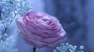 Flower Nature Purple Rose Rose 5120x2880 Wallpaper