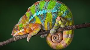 Chameleon Lizard Reptile Sleeping Wildlife 5616x3744 Wallpaper