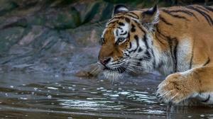Animal Tiger 5087x2157 Wallpaper
