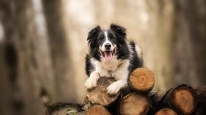 Border Collie Depth Of Field Dog Pet 4970x3318 Wallpaper