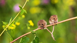 Rodent Wildlife Harvest Mouse 1920x1080 Wallpaper