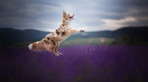 Dog Pet Lavender Depth Of Field 2048x1365 Wallpaper