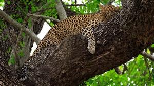 Big Cat Leopard Sleeping Wildlife Predator Animal 2000x1333 wallpaper