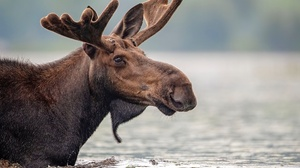 Moose Wildlife 2048x1489 Wallpaper