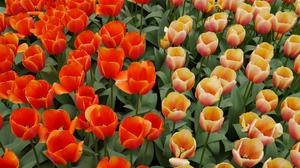 Flower Nature Orange Flower Peach Flower Summer Tulip 3995x3000 Wallpaper