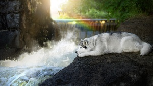 Dog Pet Siberian Husky 1920x1279 wallpaper
