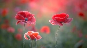 Close Up Flower Poppy Red Flower Summer 2048x1536 Wallpaper