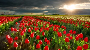 Cloud Field Flower Nature Netherlands Red Flower Sunbeam Sunset Tulip 2000x1333 Wallpaper