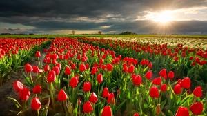 Cloud Field Flower Nature Netherlands Red Flower Sunbeam Sunset Tulip 2000x1333 wallpaper