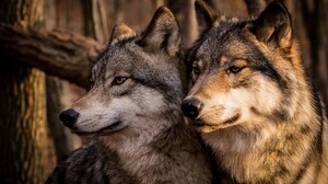 Wildlife Wolf Predator Animal 2047x1361 Wallpaper