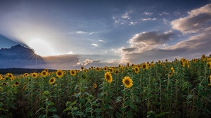 Cloud Flower Nature Sky Summer Sunbeam Sunflower Yellow Flower 2186x1080 Wallpaper