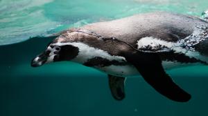 Penguin Underwater Wildlife 4288x2848 Wallpaper