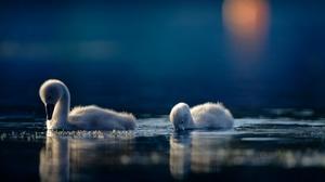 Baby Animal Bird Cygnet Swan Water Wildlife 6144x4096 Wallpaper