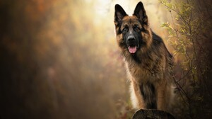 Dog German Shepherd Pet 2048x1431 Wallpaper