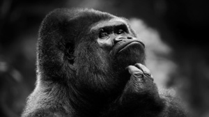 Gorilla 1920x1200 Wallpaper